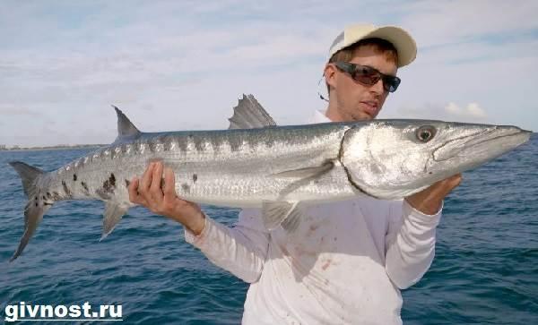 Барракуда-рыба-Образ-жизни-и-среда-обитания-барракуды-6