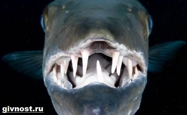 Барракуда-рыба-Образ-жизни-и-среда-обитания-барракуды-7