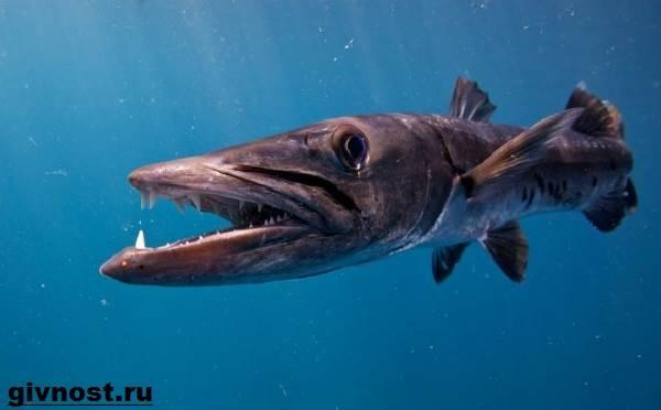 Барракуда-рыба-Образ-жизни-и-среда-обитания-барракуды-9