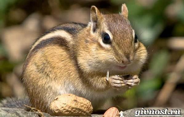 Бурундук-животное-Образ-жизни-и-среда-обитания-бурундука-1