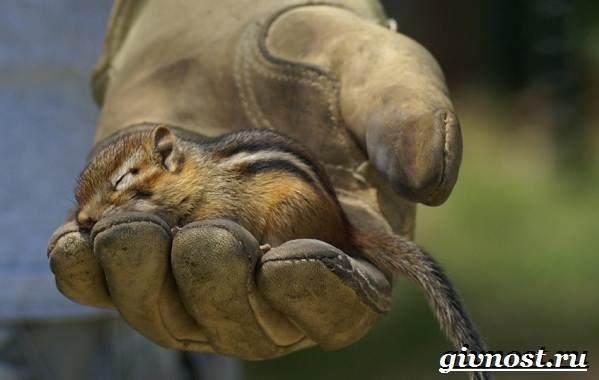 Бурундук-животное-Образ-жизни-и-среда-обитания-бурундука-10