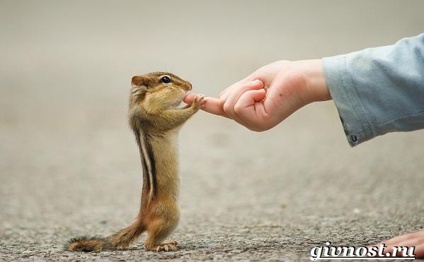 Бурундук-животное-Образ-жизни-и-среда-обитания-бурундука-11