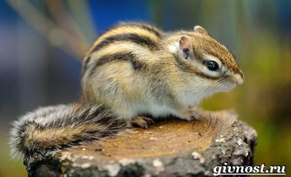 Бурундук-животное-Образ-жизни-и-среда-обитания-бурундука-2