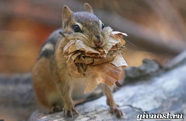 Бурундук-животное-Образ-жизни-и-среда-обитания-бурундука-5
