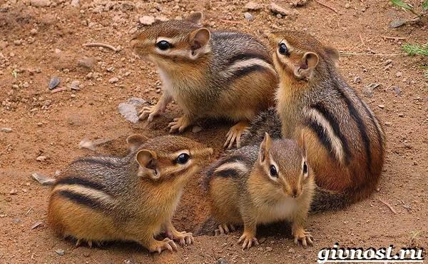 Бурундук-животное-Образ-жизни-и-среда-обитания-бурундука-9