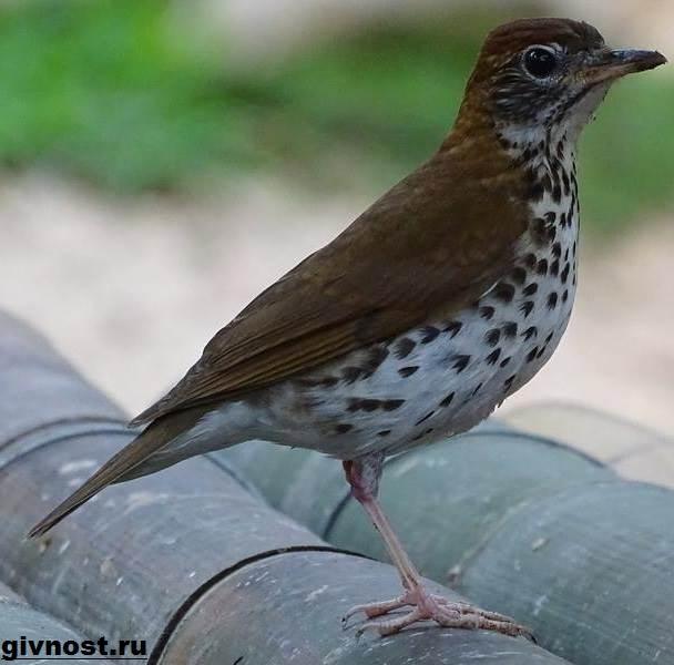 Дрозд-птица-Образ-жизни-и-среда-обитания-дрозда-13