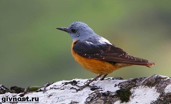 Дрозд-птица-Образ-жизни-и-среда-обитания-дрозда-14