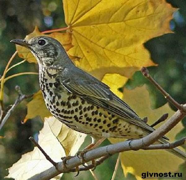 Дрозд-птица-Образ-жизни-и-среда-обитания-дрозда-15