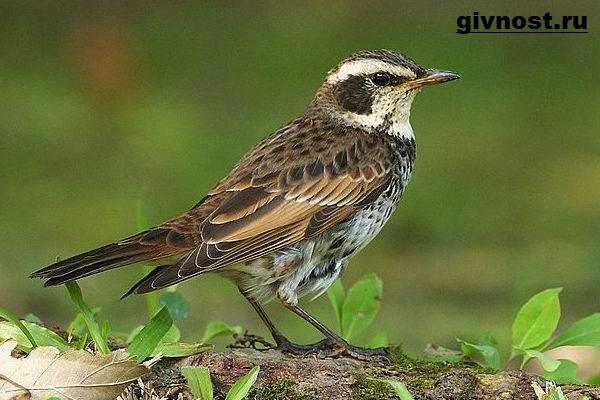 Дрозд-птица-Образ-жизни-и-среда-обитания-дрозда-2