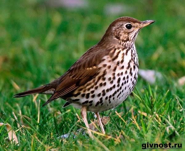 Дрозд-птица-Образ-жизни-и-среда-обитания-дрозда-8