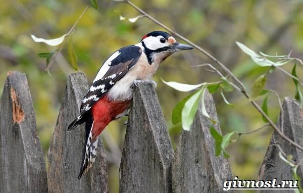 Дятел-птица-Образ-жизни-и-среда-обитания-птицы-дятел-1
