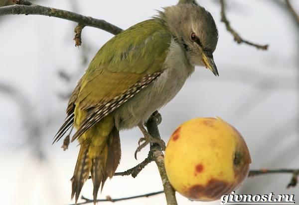 Дятел-птица-Образ-жизни-и-среда-обитания-птицы-дятел-12