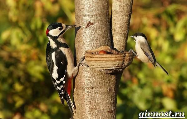 Дятел-птица-Образ-жизни-и-среда-обитания-птицы-дятел-2