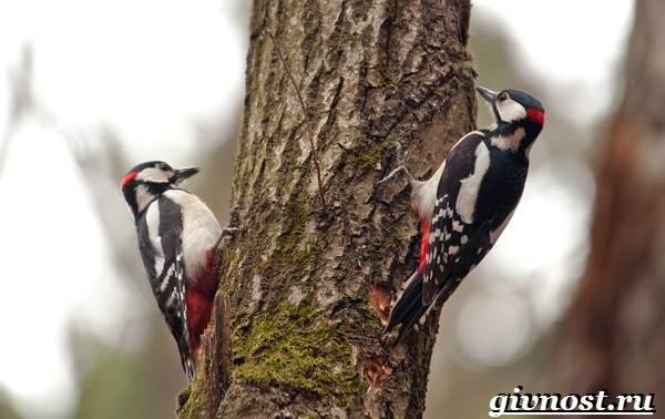 Дятел-птица-Образ-жизни-и-среда-обитания-птицы-дятел-6