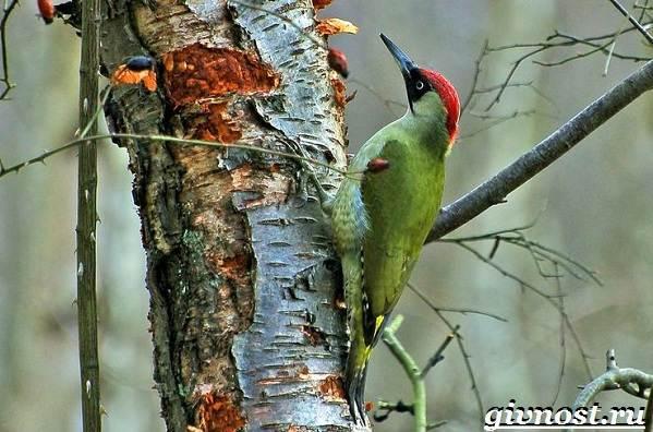 Дятел-птица-Образ-жизни-и-среда-обитания-птицы-дятел-8