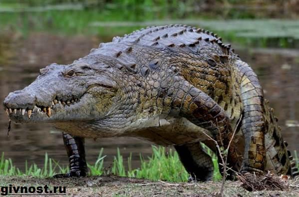 Гребнистый-крокодил-рептилия-Образ-жизни-и-среда-обитания-гребнистого-крокодила-11