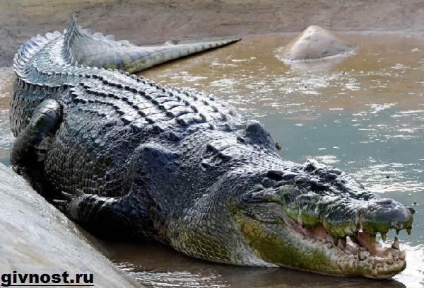 Гребнистый-крокодил-рептилия-Образ-жизни-и-среда-обитания-гребнистого-крокодила-2
