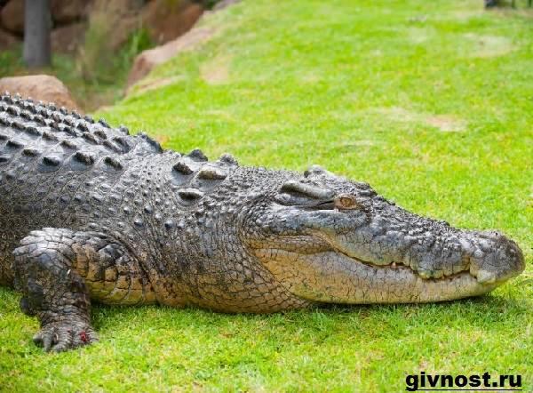 Гребнистый-крокодил-рептилия-Образ-жизни-и-среда-обитания-гребнистого-крокодила-3