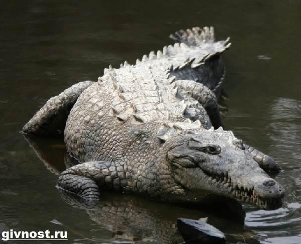 Гребнистый-крокодил-рептилия-Образ-жизни-и-среда-обитания-гребнистого-крокодила-4