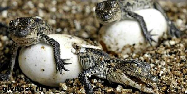 Гребнистый-крокодил-рептилия-Образ-жизни-и-среда-обитания-гребнистого-крокодила-5