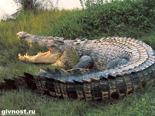 Гребнистый-крокодил-рептилия-Образ-жизни-и-среда-обитания-гребнистого-крокодила-6