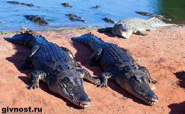 Гребнистый-крокодил-рептилия-Образ-жизни-и-среда-обитания-гребнистого-крокодила-7