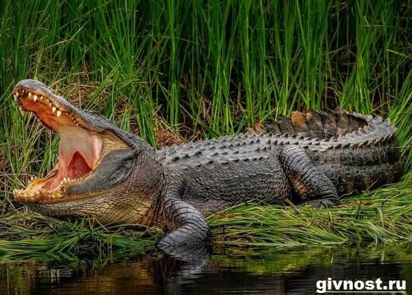 Гребнистый-крокодил-рептилия-Образ-жизни-и-среда-обитания-гребнистого-крокодила-8