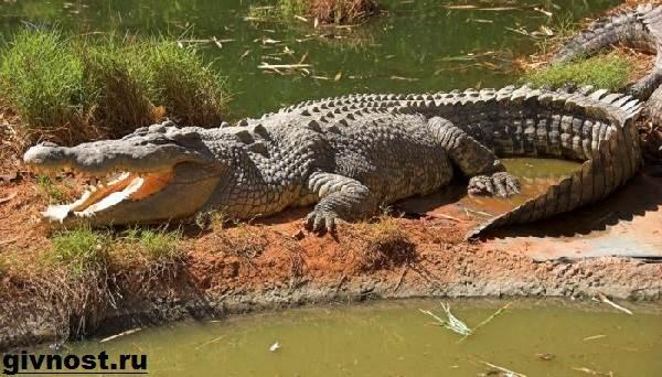 Гребнистый-крокодил-рептилия-Образ-жизни-и-среда-обитания-гребнистого-крокодила-9