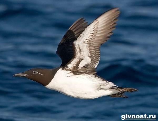 Кайра-птица-Образ-жизни-и-среда-обитания-птица-кайры-3
