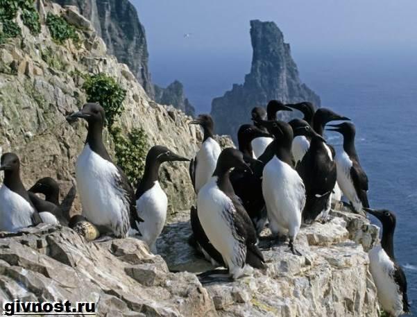 Кайра-птица-Образ-жизни-и-среда-обитания-птица-кайры-9