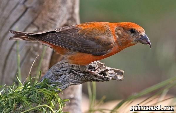 Клест-птица-Образ-жизни-и-среда-обитания-клеста-1