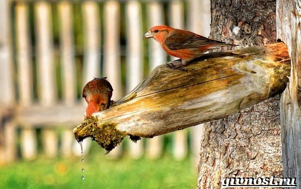 Клест-птица-Образ-жизни-и-среда-обитания-клеста-11