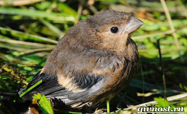 Клест-птица-Образ-жизни-и-среда-обитания-клеста-12