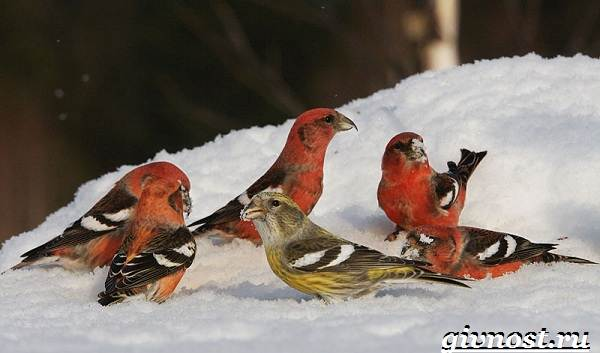 Клест-птица-Образ-жизни-и-среда-обитания-клеста-3