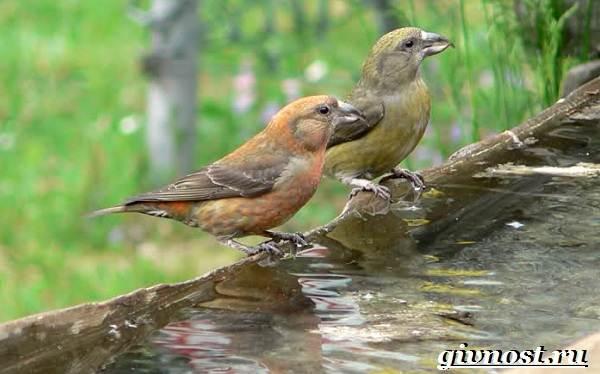 Клест-птица-Образ-жизни-и-среда-обитания-клеста-5