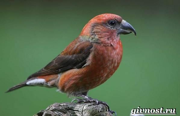 Клест-птица-Образ-жизни-и-среда-обитания-клеста-6