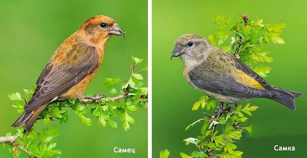 Клест-птица-Образ-жизни-и-среда-обитания-клеста-7