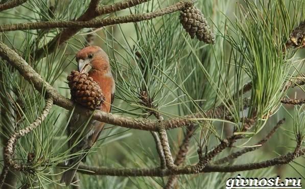 Клест-птица-Образ-жизни-и-среда-обитания-клеста-8