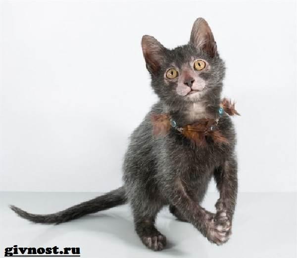 Ликои-порода-кошек-Описание-особенности-цена-и-уход-за-ликои-11