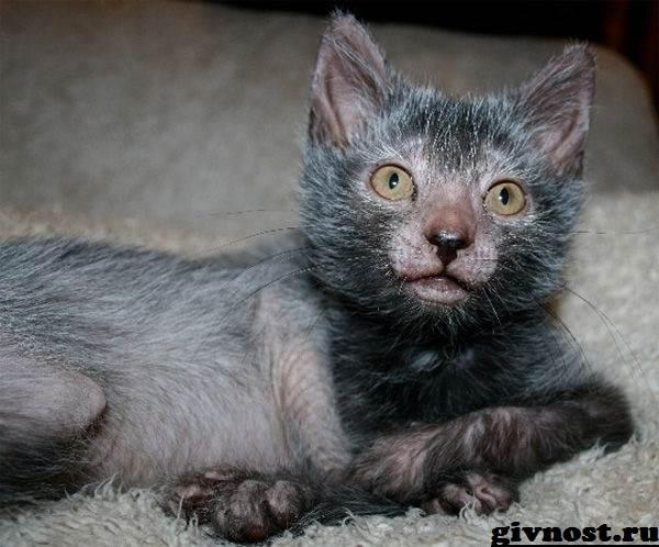 Ликои-порода-кошек-Описание-особенности-цена-и-уход-за-ликои-2