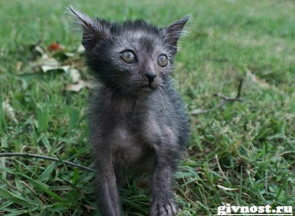 Ликои-порода-кошек-Описание-особенности-цена-и-уход-за-ликои-3