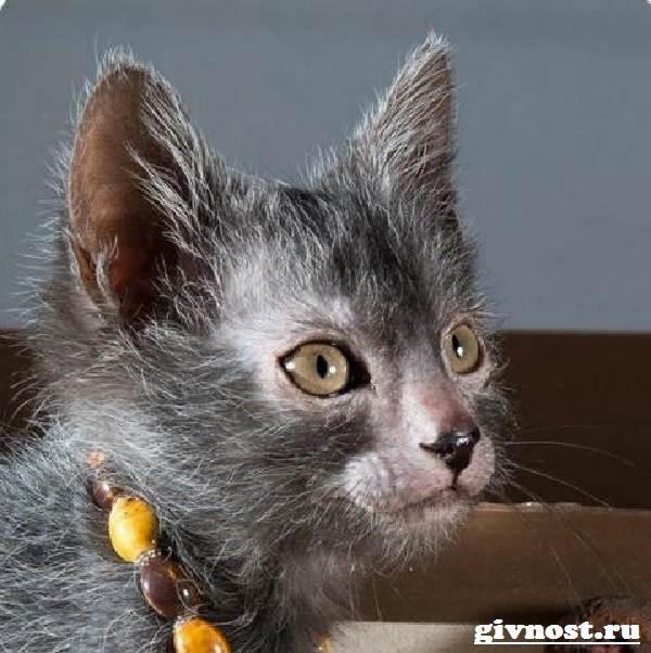 Ликои-порода-кошек-Описание-особенности-цена-и-уход-за-ликои-4
