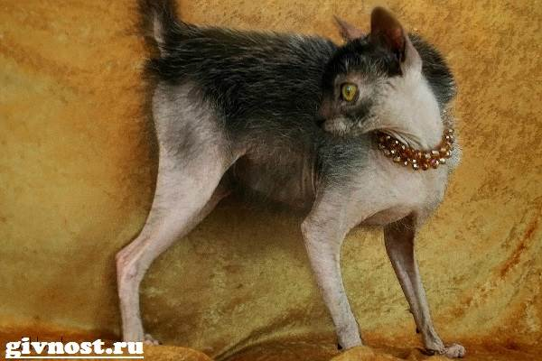 Ликои-порода-кошек-Описание-особенности-цена-и-уход-за-ликои-5