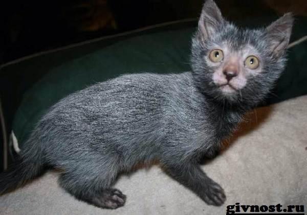 Ликои-порода-кошек-Описание-особенности-цена-и-уход-за-ликои-6