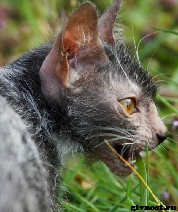 Ликои-порода-кошек-Описание-особенности-цена-и-уход-за-ликои-7