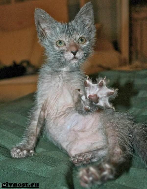 Ликои-порода-кошек-Описание-особенности-цена-и-уход-за-ликои-8