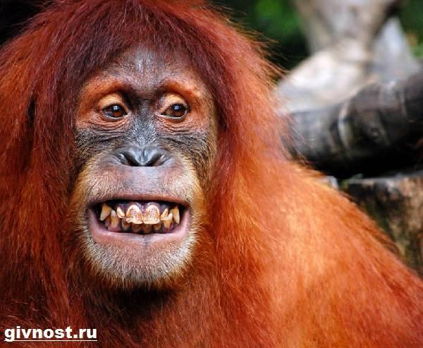 Орангутанг-обезьяна-Образ-жизни-и-среда-обитания-орангутанга-1