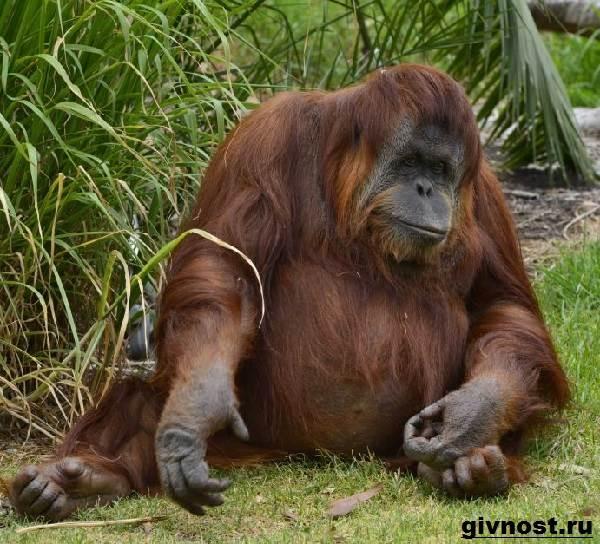 Орангутанг-обезьяна-Образ-жизни-и-среда-обитания-орангутанга-10