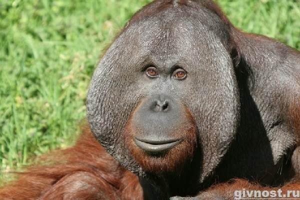 Орангутанг-обезьяна-Образ-жизни-и-среда-обитания-орангутанга-2
