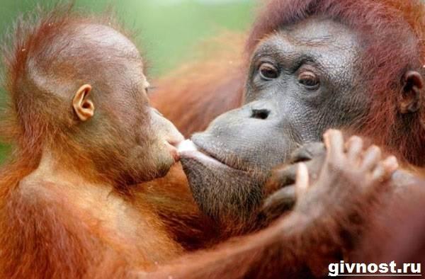 Орангутанг-обезьяна-Образ-жизни-и-среда-обитания-орангутанга-4